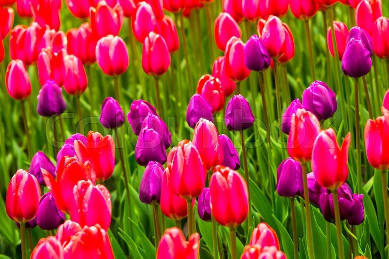 Field of tulips. Flowers tulips.Red and white tulips.Background colors of red and white tulips.Landscape design of flowers.Floristry of flowers of red and white tulips.Tulips, stock photo