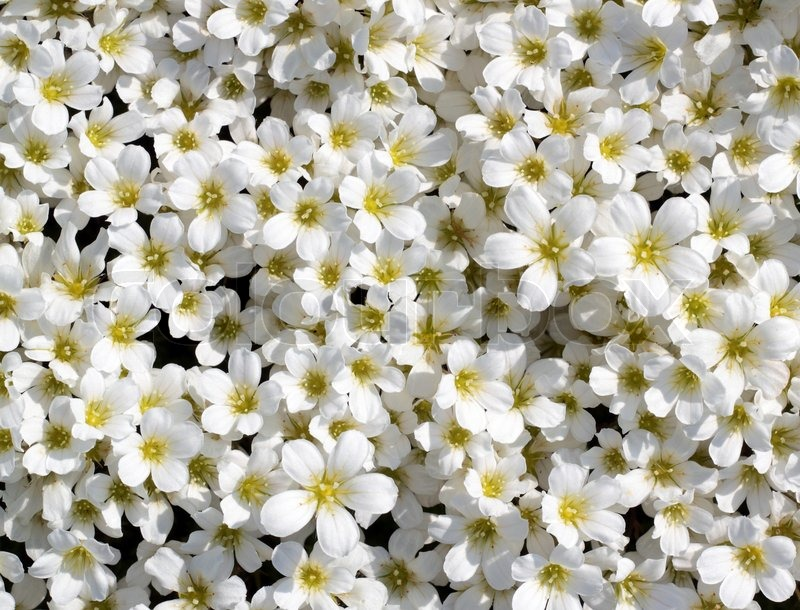 Small white flowers background stock photo colourbox mightylinksfo