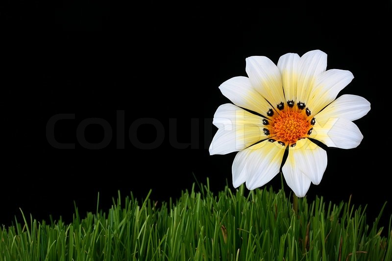 Flower with white yellow petals in a grass on darkly black flower with white yellow petals in a grass on darkly black background stock photo colourbox mightylinksfo