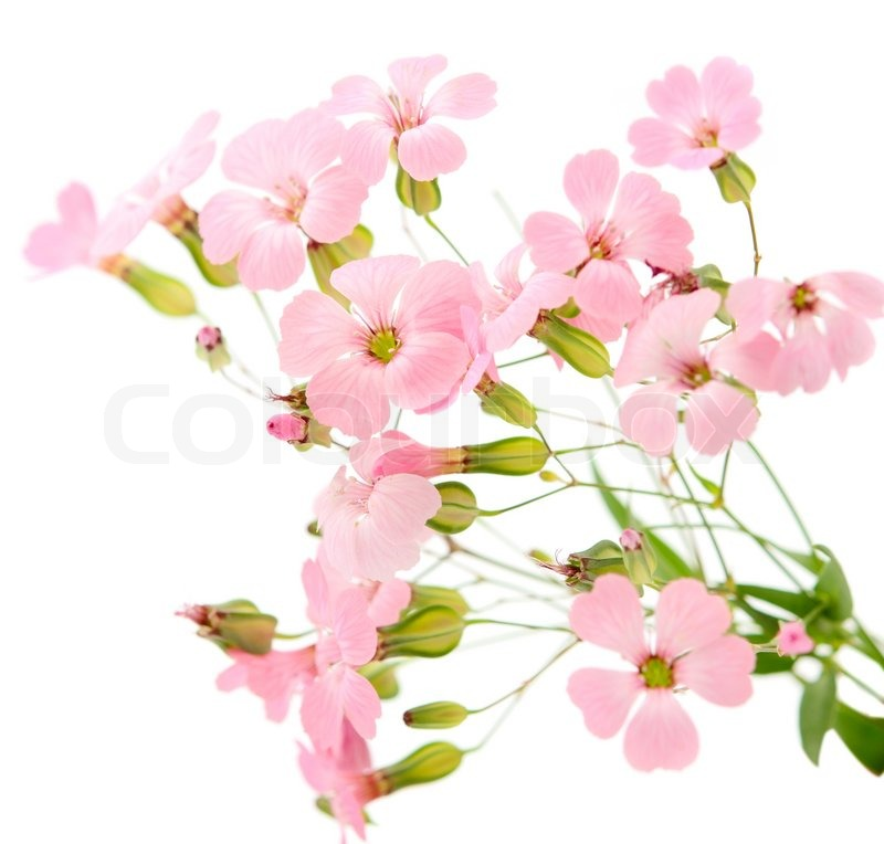 Pink Flower White Background Wallpaper