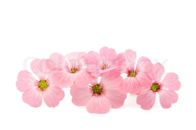Delicate pink flowers on a white background stock photo colourbox mightylinksfo