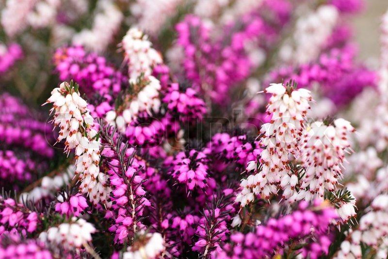 Different heather flowers close up flower background shallow deep different heather flowers close up flower background shallow deep of field stock photo colourbox mightylinksfo