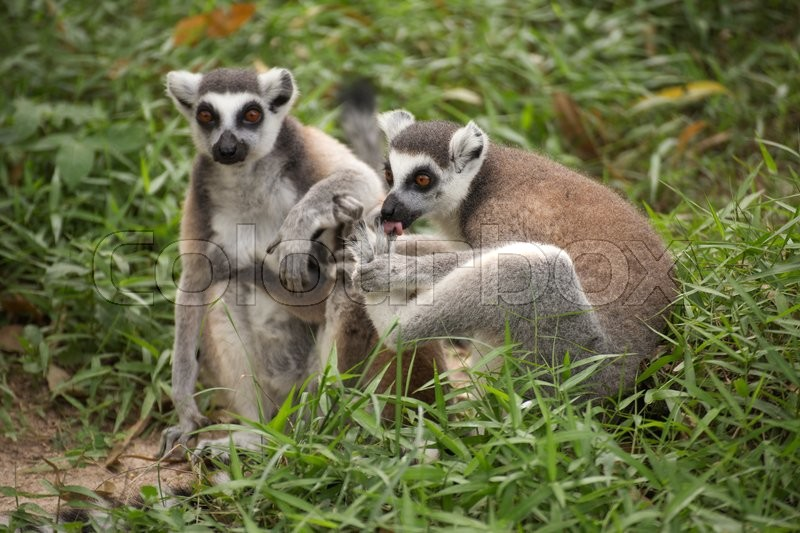 Two ring-tailed lemurs standing on the floor , stock photo