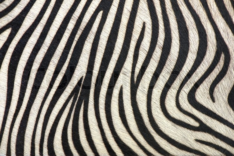 real zebra print wallpaper