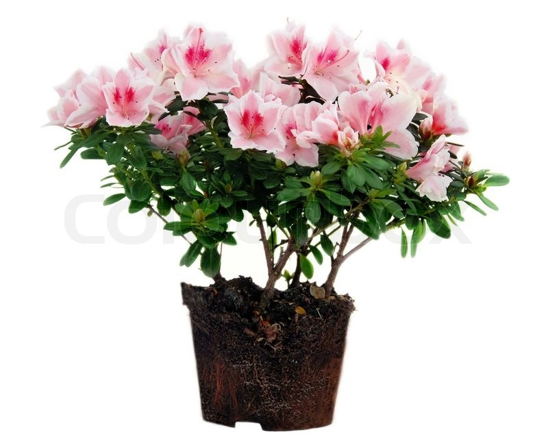 Blooming pink azalea flowers with root over white background blooming pink azalea flowers with root over white background isolated stock photo colourbox mightylinksfo