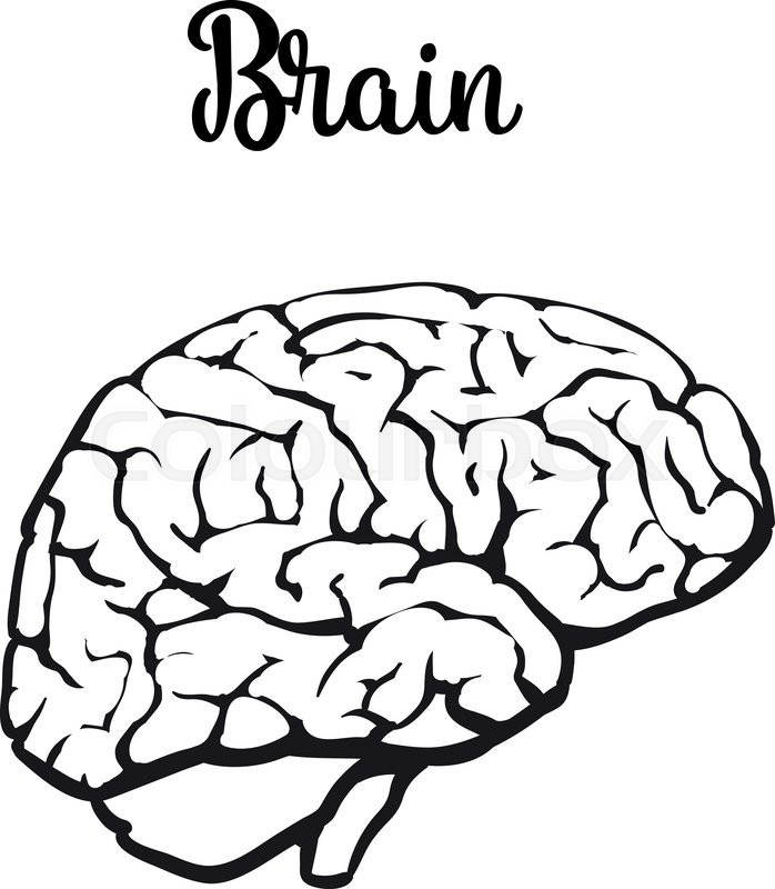 human brain  vector illustration sketch of a brain