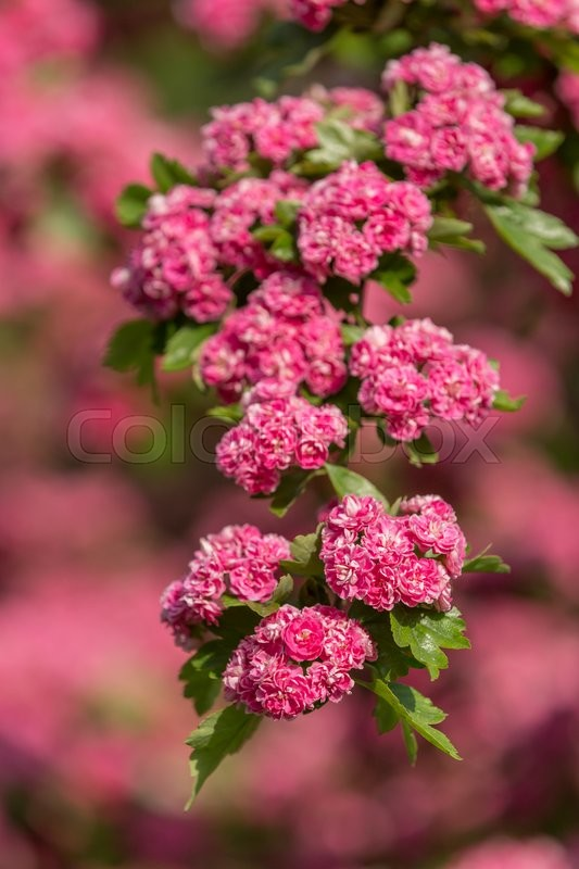 Flowers pink hawthorn close up hawthorn tree in latin crataegus flowers pink hawthorn close up hawthorn tree in latin crataegus laevigata with bright pink flowers spring natural background sping frowering tree mightylinksfo