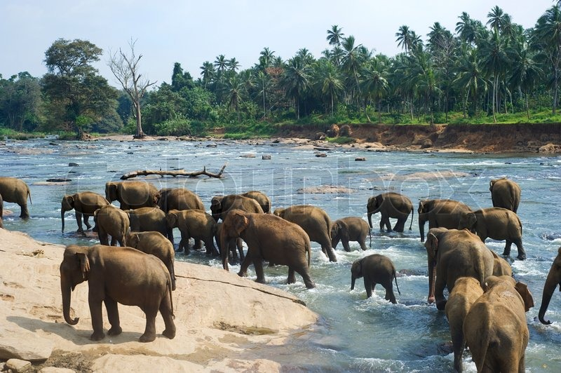elephants aus dem pinnewala elephant orphanage genie en ihr t gliches bad im rtlichen fluss. Black Bedroom Furniture Sets. Home Design Ideas