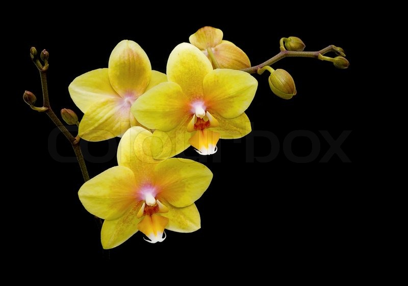 Stock image of  Flowers yellow orchids on a black background close up Yellow Flowers Black Background