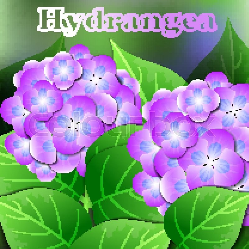 Beautiful spring flowers Hydrangea. Cards or your design with space for text. Vector illustration, vector