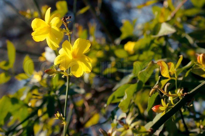 Branch of the japanese jasmine bush with yellow flowers closup branch of the japanese jasmine bush with yellow flowers closup stock photo colourbox mightylinksfo