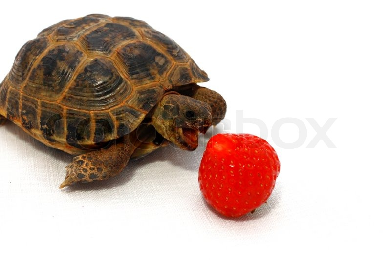 Russian Tortoise Eats Juicy Strawberry On White Background