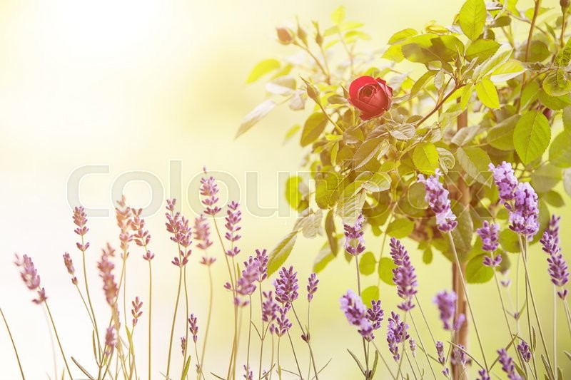 Lavender field closeup. Blooming lavender. blooming rose. Aromatic lavender flowers over sunset sky, stock photo