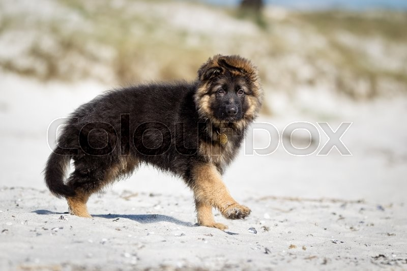 Stock image of 'A purebred german shepherd dog without leash outdoors in the nature on a sunny day.'