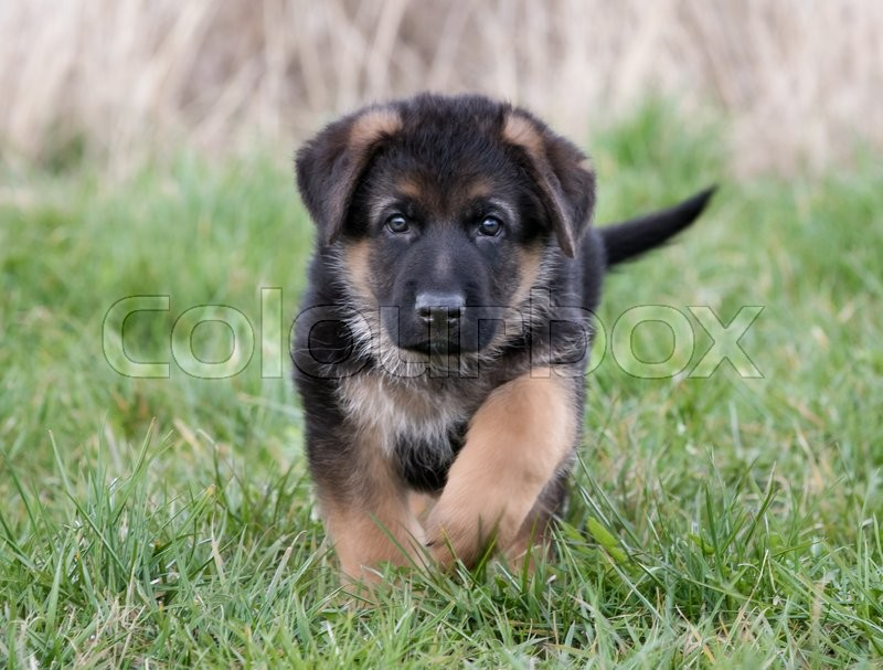 Purebred Young German Shepherd Dog Puppy Running Around Outdoors On