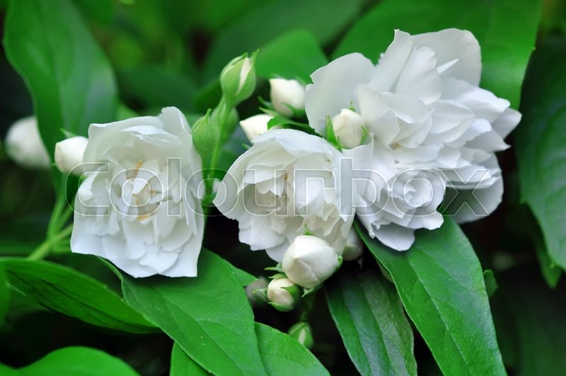 jasmine flower stock photo colourbox