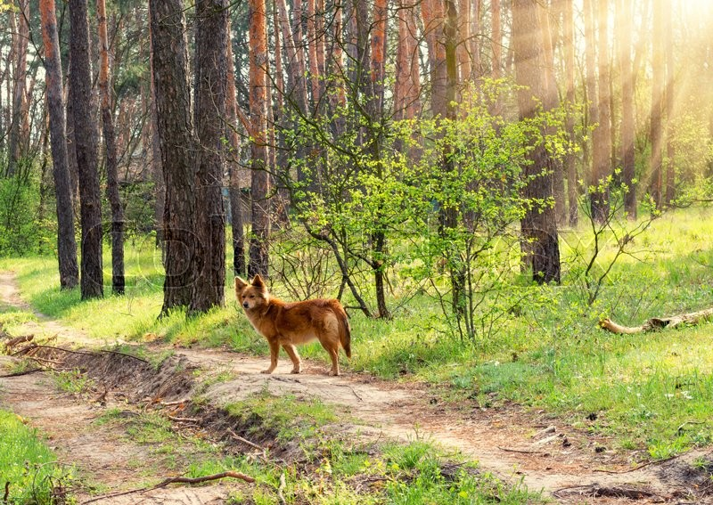 Stock image of 'Wild dog on a background of a spring forest at sunset'
