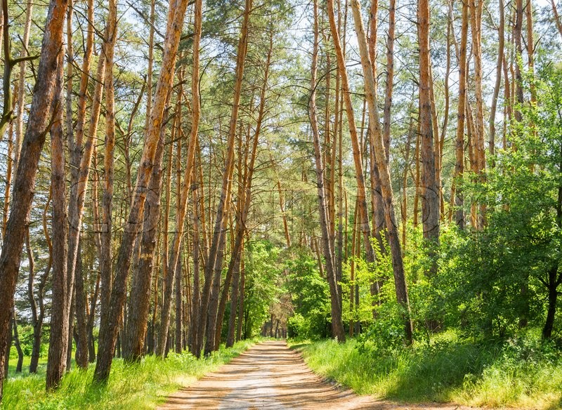 Stock image of 'Concept of eco-tourism. Path in coniferous forest'