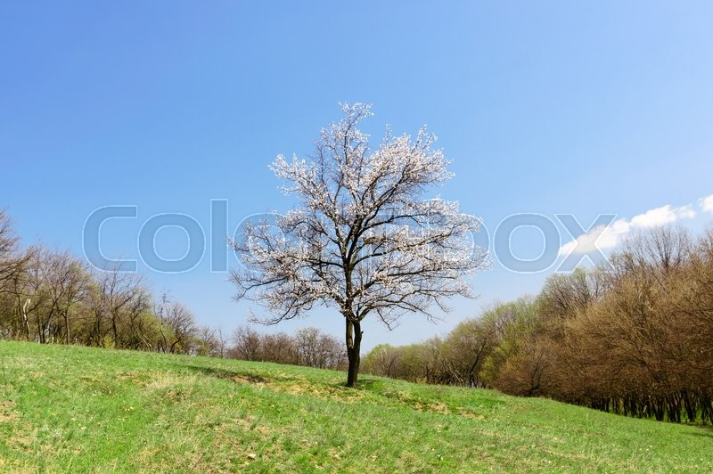 Stock image of 'Lonely apricot blossoming tree in the meadow with green grass'