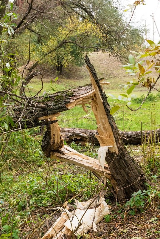 Stock image of ' Concept of disaster. Broken tree after a hurricane'