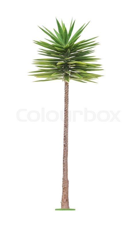 Stock image of 'Green young  beautiful palm tree isolated on white background '