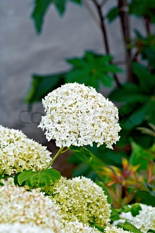 Stock image of 'Inflorescence of white hydrangea on a background of leaves and gray wall'