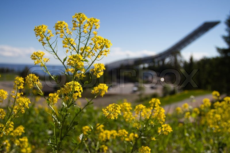Yellow weed flower in front focus with holmenkollen wavy ski jump in yellow weed flower in front focus with holmenkollen wavy ski jump in background stock photo colourbox mightylinksfo