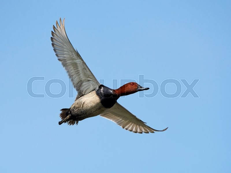 Stock foto af 'Common pochard (Aythya ferina)'