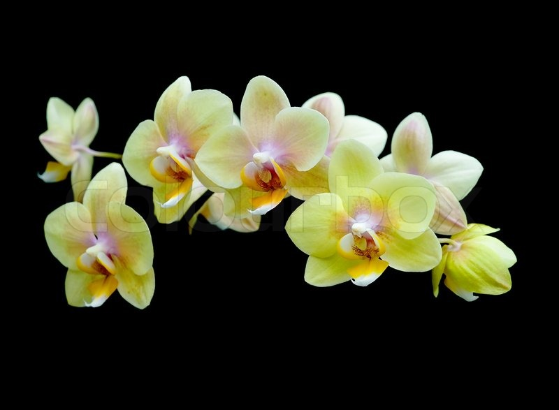 Blooming Yellow Orchids On A Black Stock Image Colourbox