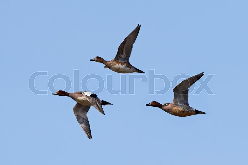 Stock image of 'Eurasian wigeons in flight with blue skies in the background'