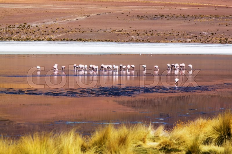 Stock image of 'Flamingo in the lake of Bolivian Altiplano'