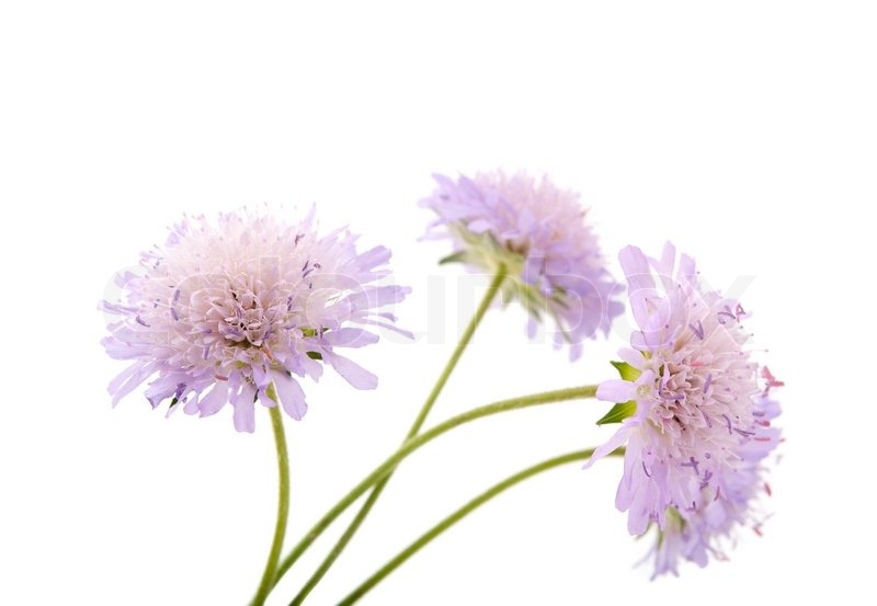 Purple flowers on a white background | Stock Photo | Colourbox