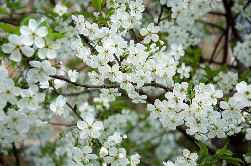 Soft white cherry trees blossom background stock photo colourbox mightylinksfo