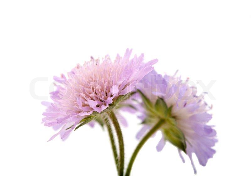 Purple flowers on a white background stock photo colourbox mightylinksfo