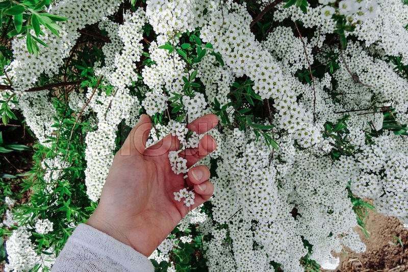 Spiraea alpine meadowsweet spring flower white blossoming shrub spiraea alpine meadowsweet spring flower white blossoming shrub with hand bush of the tiny white flowers stock photo colourbox mightylinksfo