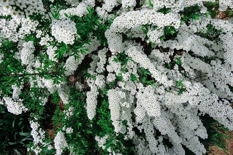Spiraea alpine meadowsweet spring flower white blossoming shrub spiraea alpine meadowsweet spring flower white blossoming shrub bush of the tiny white flowers stock photo mightylinksfo