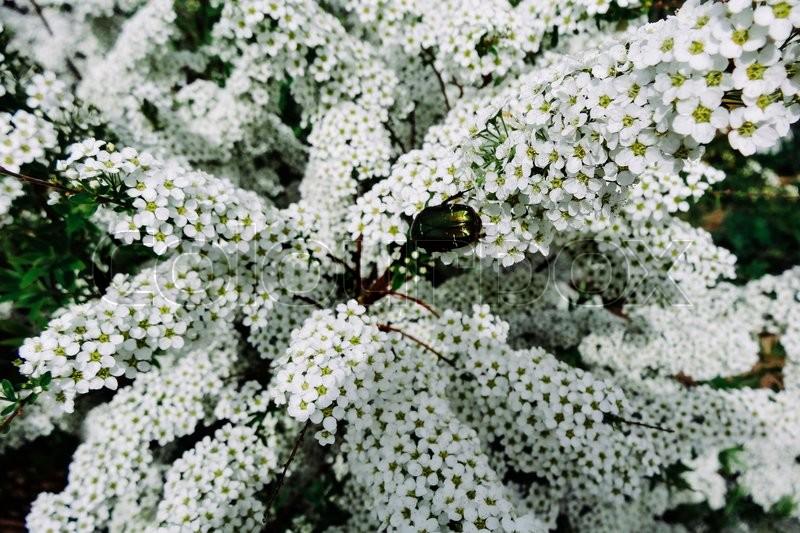 Spiraea Alpine Meadowsweet Spring Stock Photo Colourbox