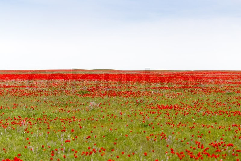 Stock image of 'Red poppies in the field as background'