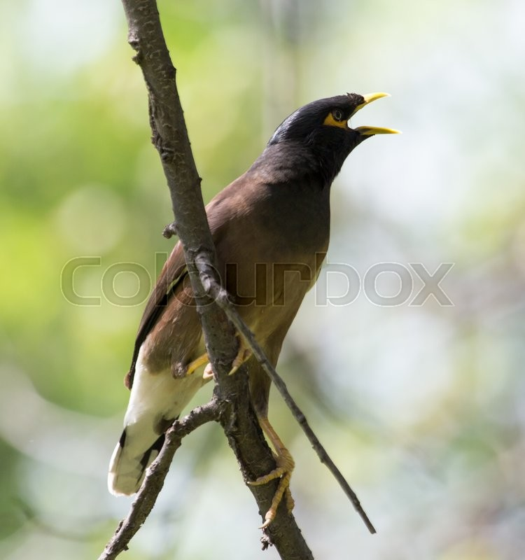 Stock image of 'Indian starling on tree in nature'