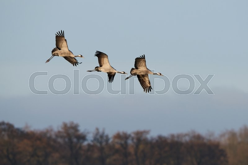 Stock image of 'Common cranes in flight with blue skies in the background'