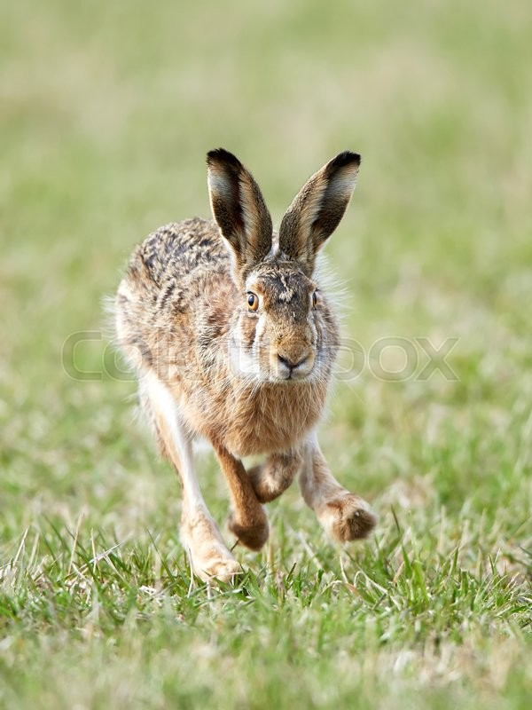 Stock image of 'European hare running in grass in its habitat'