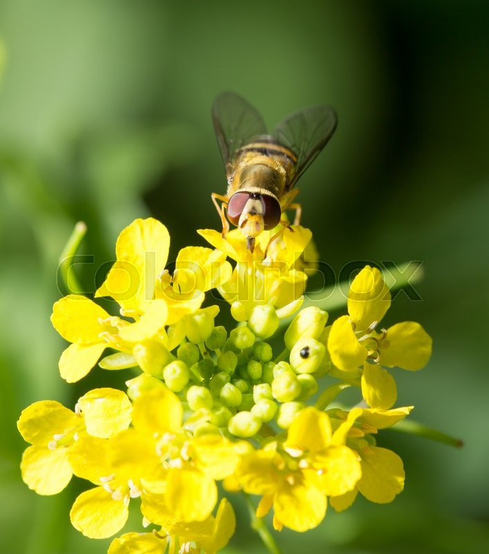 Stock image of 'Bee on yellow flower in nature. macro'