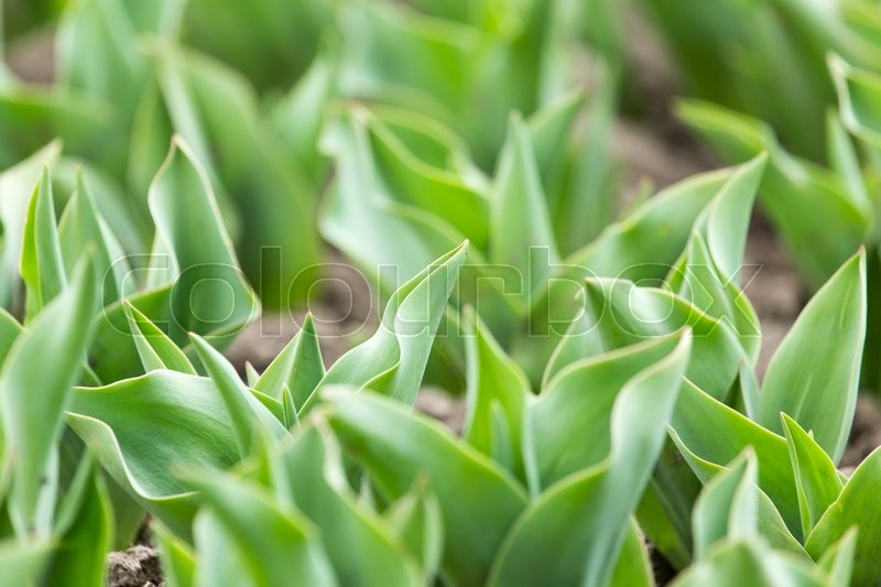 Stock image of 'Green leaves of a tulip in nature'