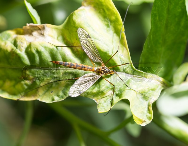 Stock image of 'Large mosquito on a green plant. macro'