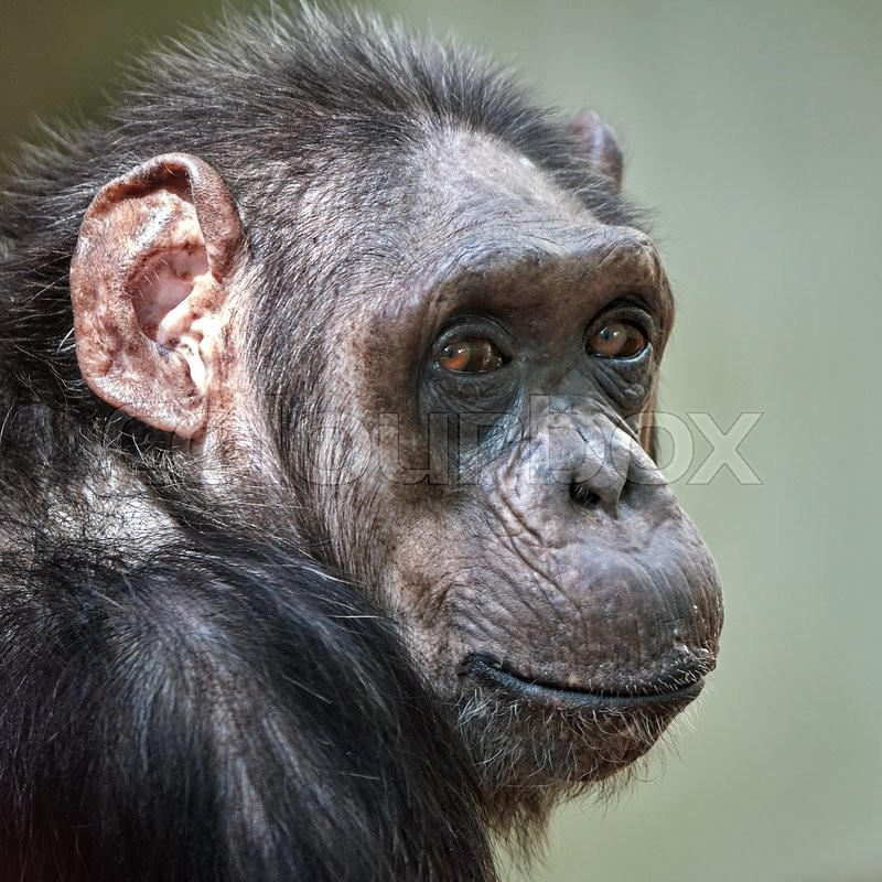 Stock image of 'Closeup portrait of a Common Chimpanzee with eye contact'