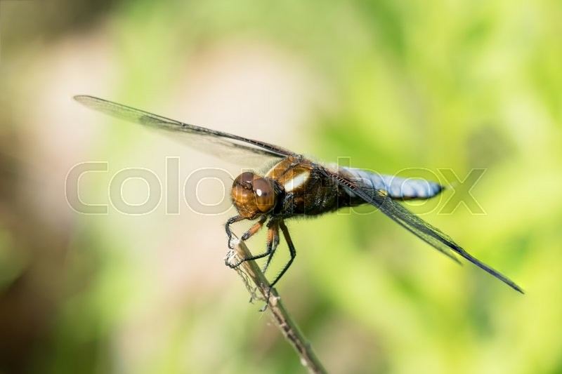Stock image of 'Broad-bodied chaser or darter male dragonfly on a dry on a dry stem'