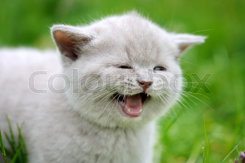 Stock image of 'Close cute gray baby kitten in green grass '