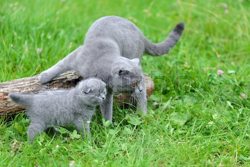 Stock image of 'Gray cat and kitten in green grass on nature'