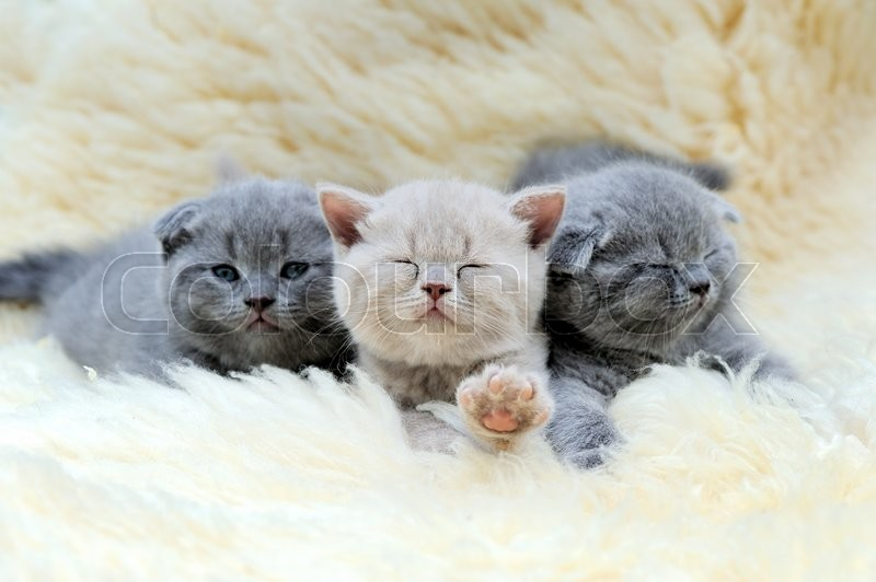Stock image of 'Close three funny little gray kitten on white blanket'