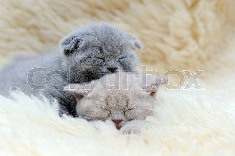 Stock image of 'Close funny little gray kitten sleep on white blanket'
